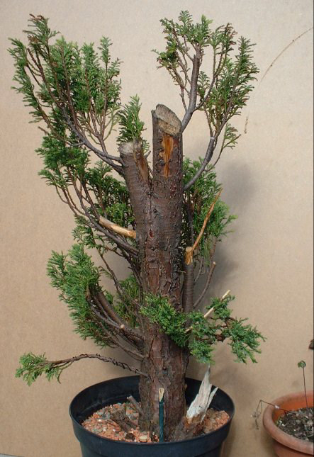 Chamaecyparis Pisifera False Cypress Bonsai Progression Series